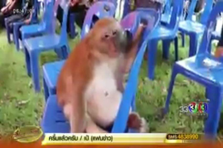 ปศุสัตว์เลยลงตรวจเจ้าลิงอ้วนถ่ายไม่ออกไม่พบเหรียญในท้องเชื่อเอาเข้าปากแล้วคายออก