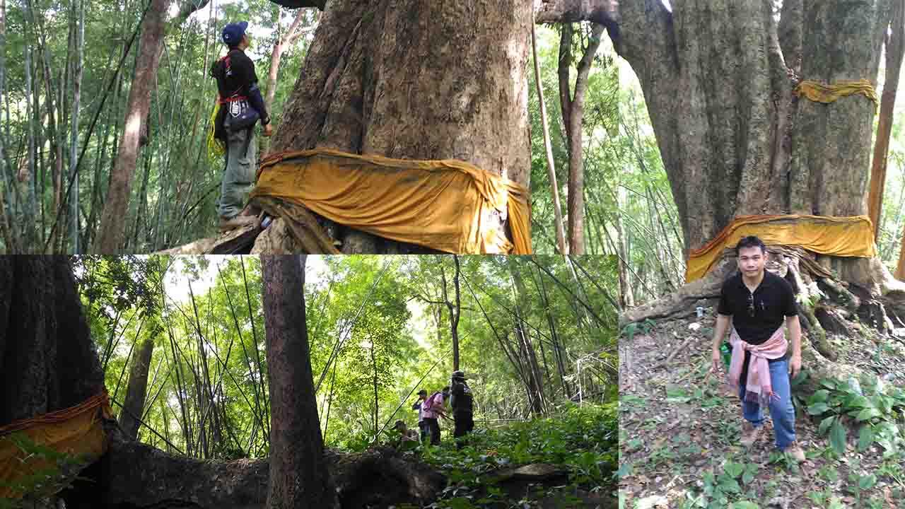 ชื่นชมความยิ่งใหญ่ของต้นมะค่ายักษ์1000ปี