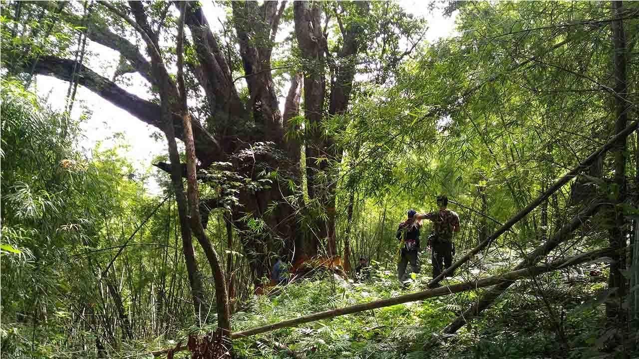 ต้นมะค่ายักษ์1000ปี