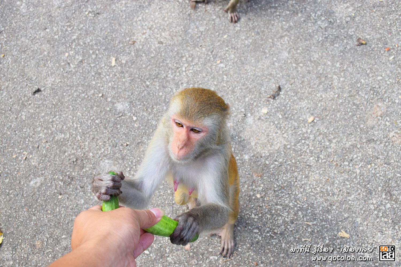 ยื่นแตงให้ลิงวัดถ้ำผาหมากฮ่อ